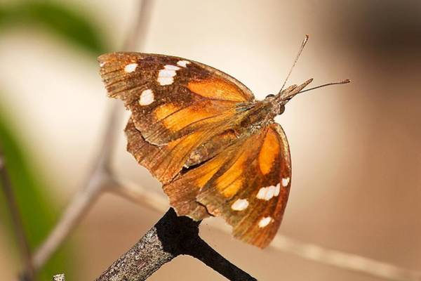 Snout Butterfly Photograph - American Snout Butterfly by Stuart Litoff