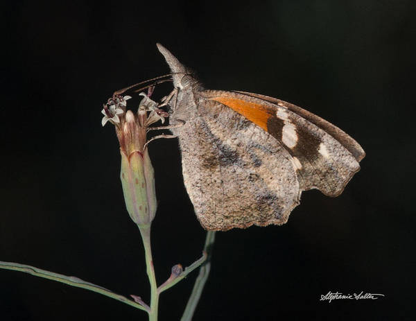 Snout Butterfly Photograph - American Snout by Stephanie Salter