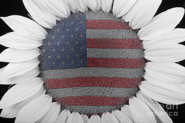 Photograph - American Sunflower Power by James BO Insogna