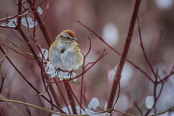 Southern Ontario Photograph - American Tree Sparrow 2 by Gary Hall