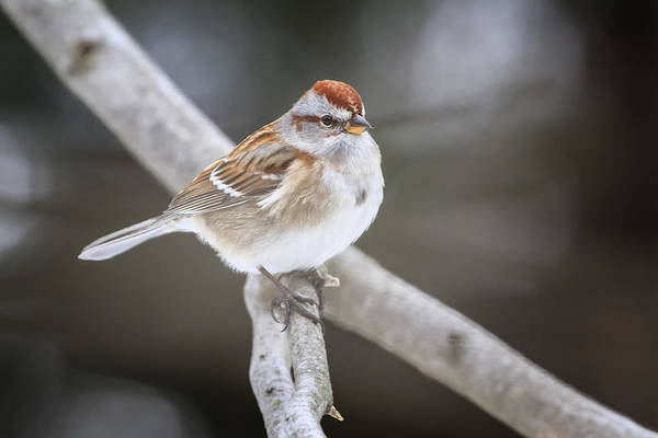 Southern Ontario Photograph - American Tree Sparrow by Gary Hall