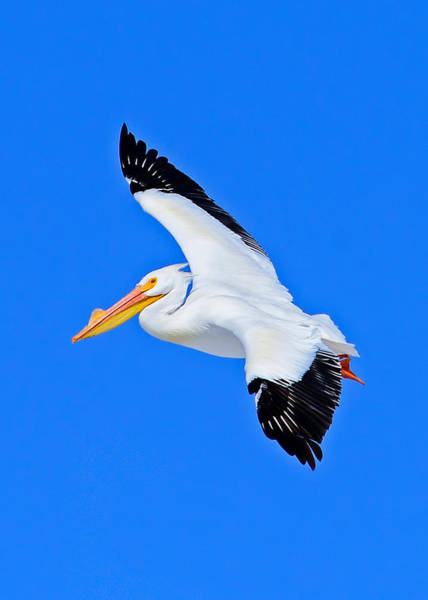 Photograph - American White Pelican Greeting Card by Greg Norrell