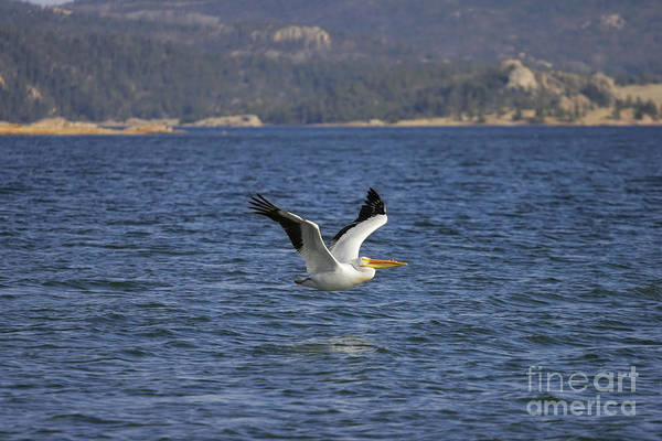 Photograph - American White Pelican In Flight by Lincoln Rogers