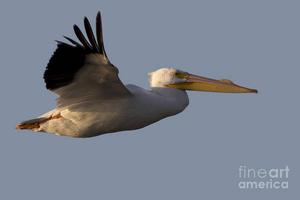 Photograph - American White Pelican In Flight by Meg Rousher