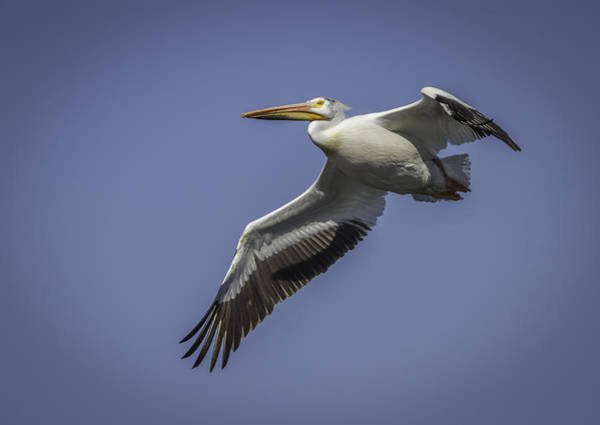 Photograph - American White Pelican In Flight by Thomas Young