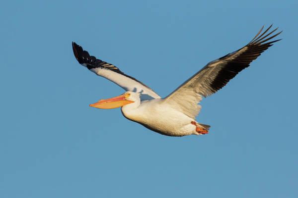 American White Pelican Wall Art - Photograph - American White Pelican by Ken Archer