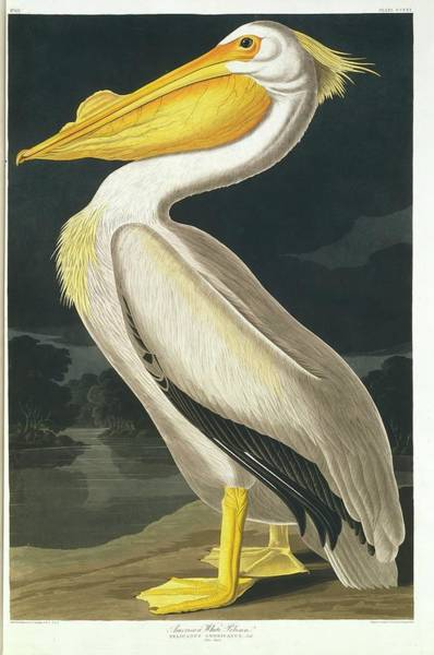 Wall Art - Photograph - American White Pelican by Natural History Museum, London/science Photo Library