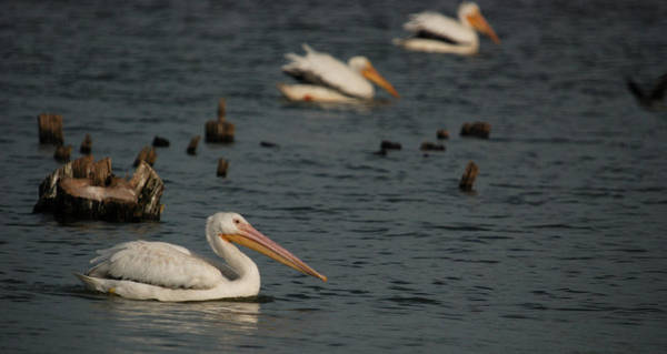 Horicon Marsh Photograph - American White Pelican No. 2 by Janice Adomeit