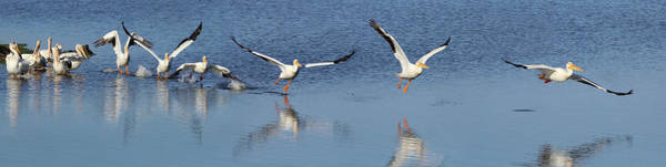 Taking Off Photograph - American White Pelican Taking Flight by Don Mccullough