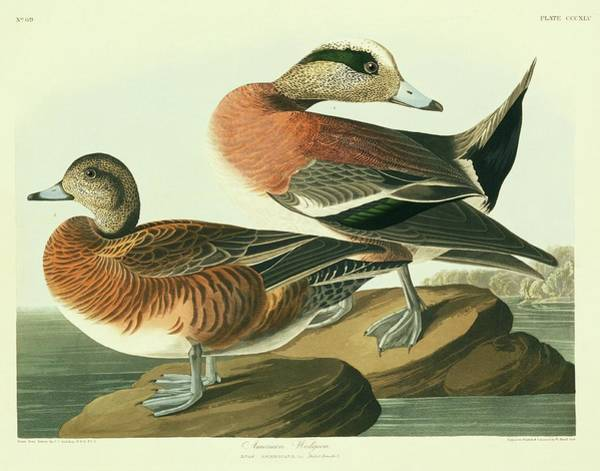 Wall Art - Photograph - American Widgeon by Natural History Museum, London/science Photo Library