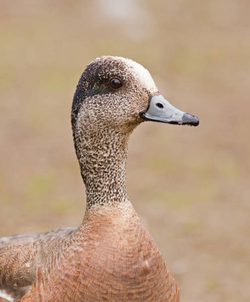 Photograph - American Wigeon by Brian Magnier