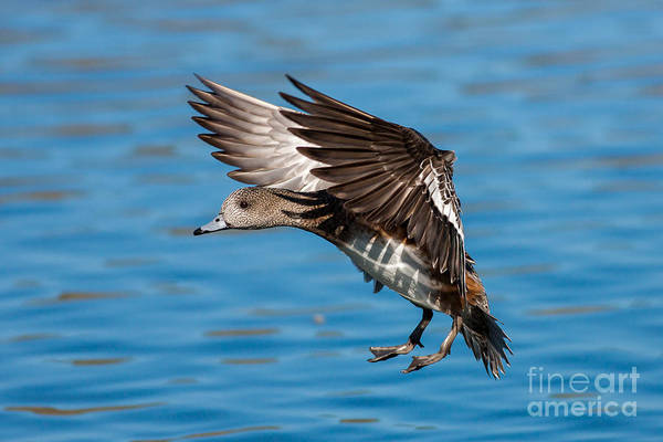 Photograph - American Wigeon by Clarence Holmes
