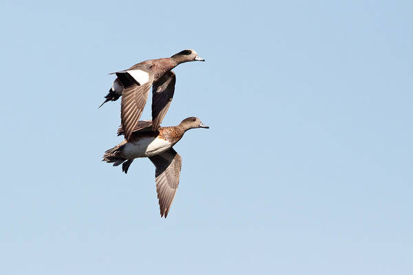 Wall Art - Photograph - American Wigeon Pair by Craig K. Lorenz