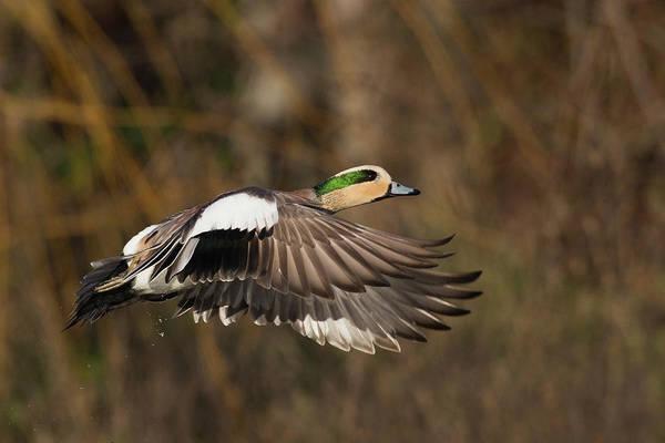 Wall Art - Photograph - American Wigeon Taking Flight by Ken Archer