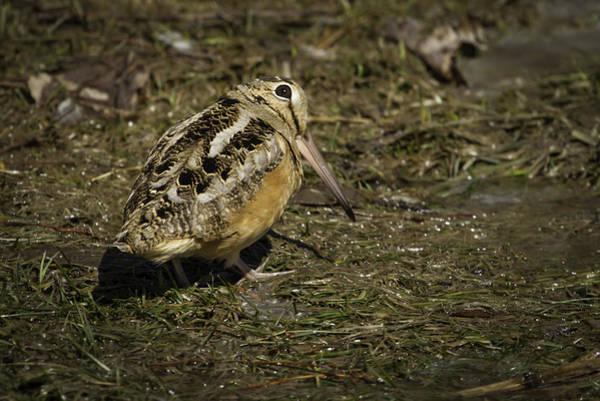 Woodcock Photograph - American Woodcock 2 by Thomas Young