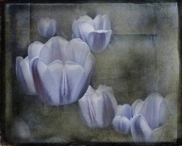 Holland Mi Wall Art - Photograph - Amethyst Tulips by Evie Carrier