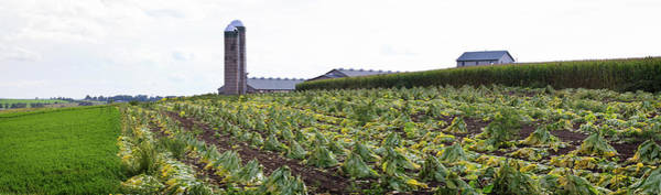Wall Art - Photograph - Amish Tobacco Field Being Harvested by Panoramic Images