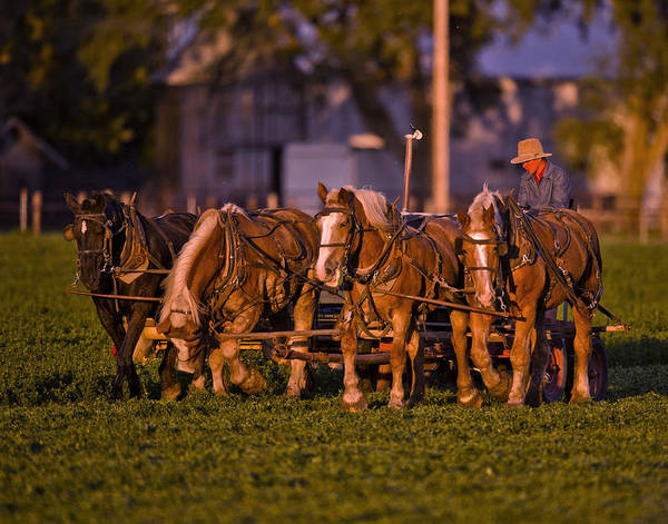 Draft Horses Photograph - Amish Work Horses In The Golden Hour by Donna Caplinger