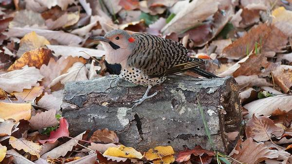 Northern Flicker Photograph - Fall Colors by Paul Golder