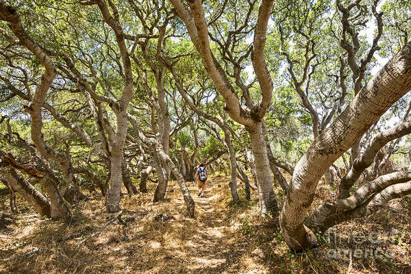 Coast Live Oak Photograph - Among The Trees - The Mysterious Trees Of The Los Osos Oak Reserve by Jamie Pham