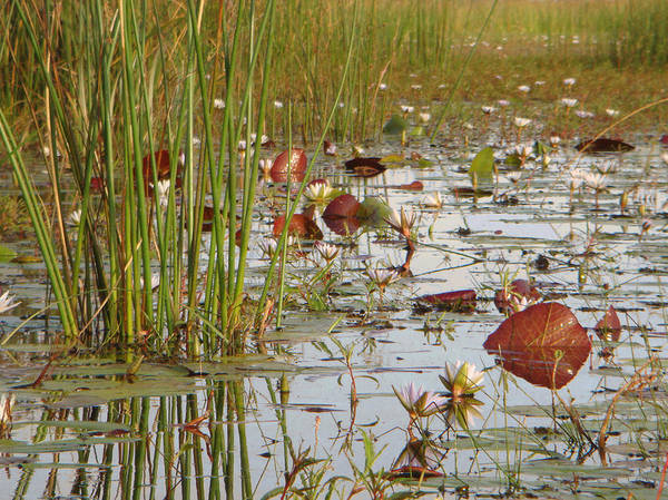 Photograph - Among The Waterlillies 2 by Karen Zuk Rosenblatt