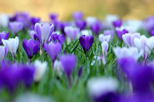 Wall Art - Photograph - Amongst The Crocuses by Andrew Turner