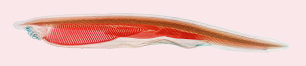 Chordate Photograph - Amphioxus Or Lancelet by Science Stock Photography