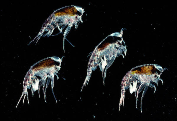 Antarctic Wall Art - Photograph - Amphipod Crustaceans by British Antarctic Survey/science Photo Library