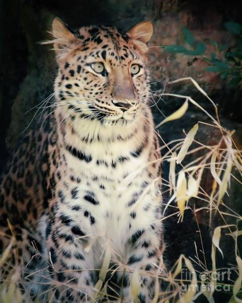 Wall Art - Photograph - Amur Leopard 3 by Frank Piercy