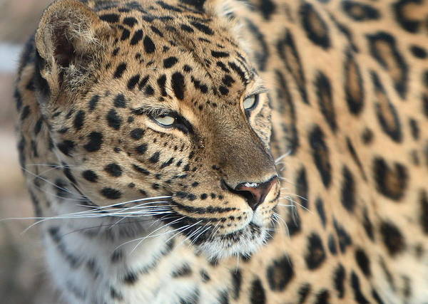 Photograph - Amur Leopard by David Andersen