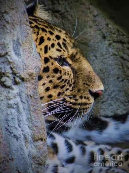 Digital Art - Amur Leopard Erie Zoo by Kathryn Strick