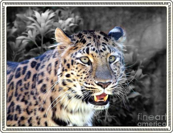 Wall Art - Photograph - Amur Leopard by Frank Piercy