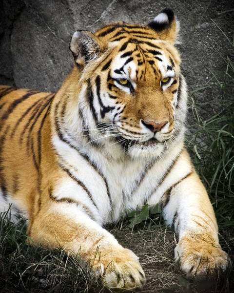 Big Cats Photograph - Amur Tiger by Adam Romanowicz