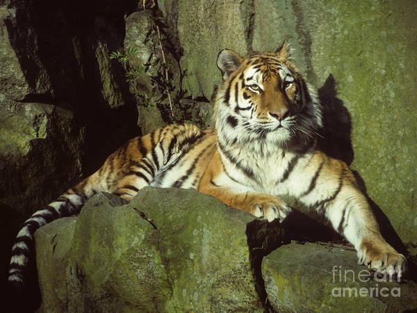 Photograph - Amur Tiger by Phil Banks
