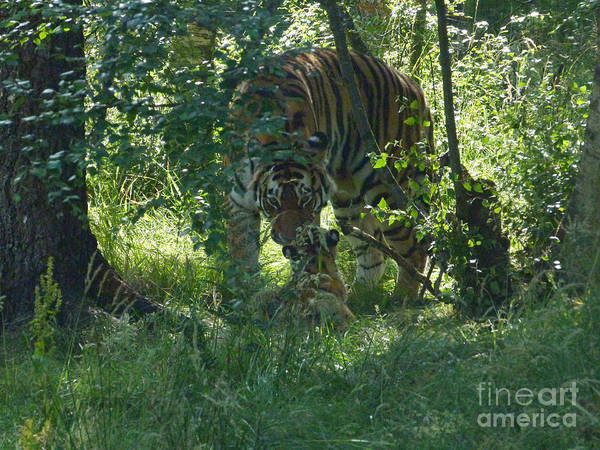 Photograph - Amur Tigress And Cub by Phil Banks