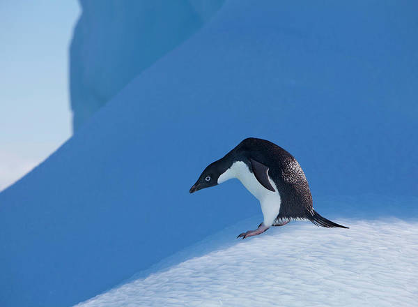 Wall Art - Photograph - An Adelie Penguin Stands On A Blue by Hugh Rose