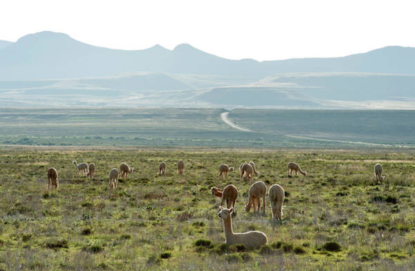 Mike D Photograph - An Alpaca Herd Grazing In A Karoo by Mike D. Kock