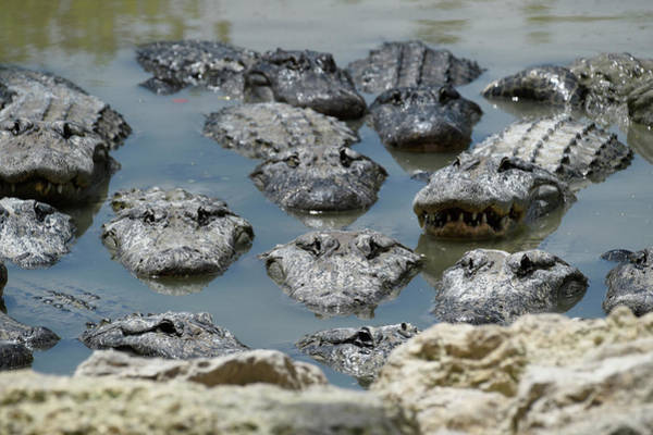 Urban Wildlife Photograph - An America Alligators In Swamp by Rhona Wise