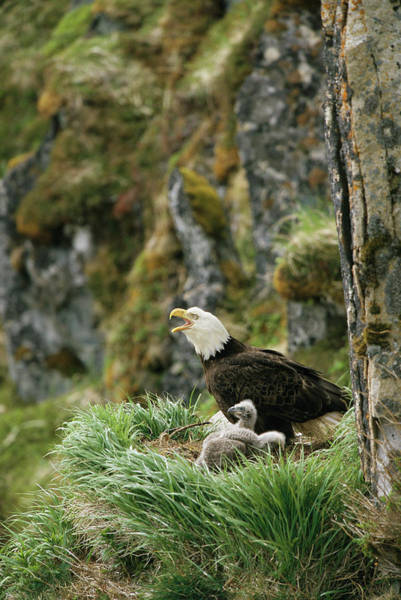 Wall Art - Photograph - An American Bald Eagle And Chicks by Klaus Nigge