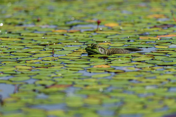 Wall Art - Photograph - An American Bullfrog  Lithobates by Robert L. Potts