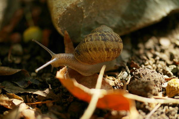 Little Things Photograph - An Awesomely Slow Snail by Jeff Swan