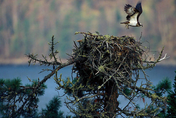 Boreal Forest Photograph - An Eagle Flying From Its Nest by Peter Essick