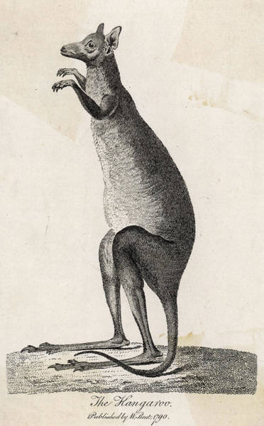Kangaroo Drawing - An Early Depiction, Based On  Accounts by Mary Evans Picture Library