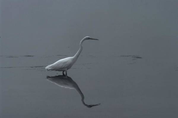 Living Things Photograph - An Egret Standing In Its Reflection by Jeff Swan