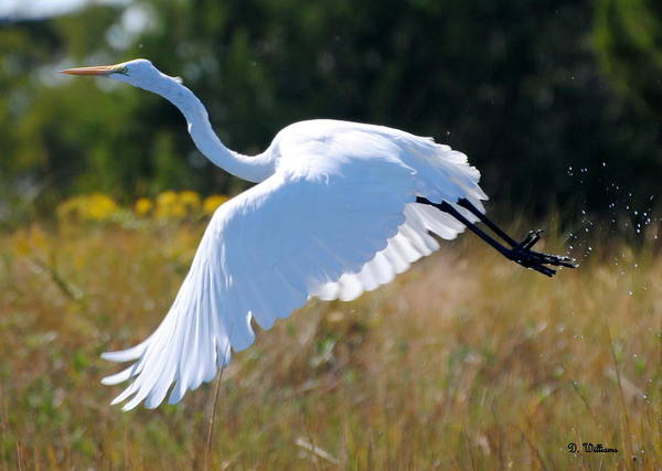Photograph - An Egret Takes Flight by Dan Williams