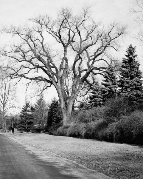 January 1st Photograph - An Elm Tree At The Side Of A Road by Tom Leonard