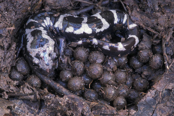 Wall Art - Photograph - An Endangered Marbled Salamander Nests by Peter Essick