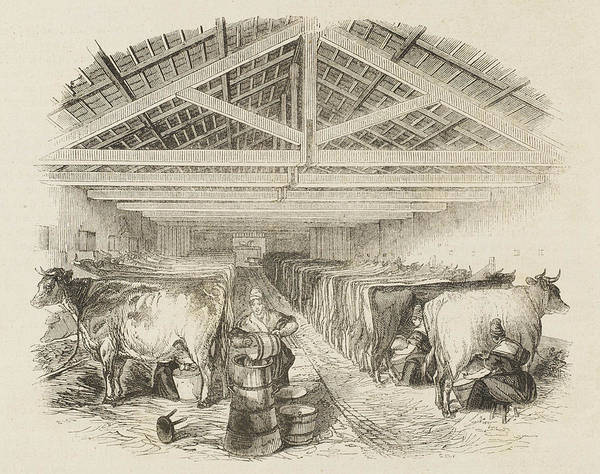 Wall Art - Drawing - An English Milking Parlour by Mary Evans Picture Library