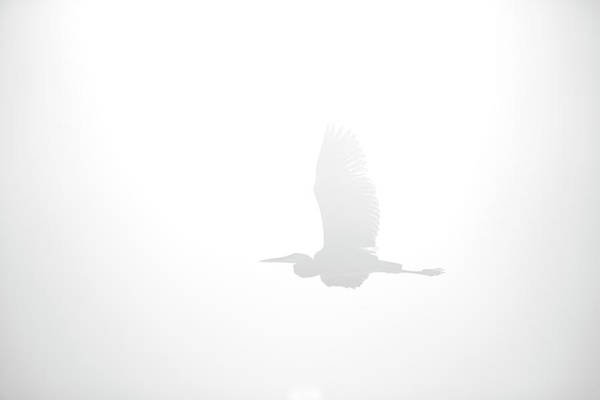 Wing Back Photograph - An Ethereal View Of A Great Heron by Chris Ross