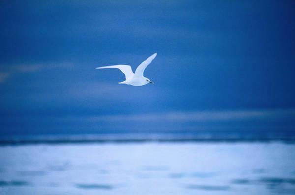 Wall Art - Photograph - An Ivory Gull Pagophila Ebureus In by Nicholas Reuss